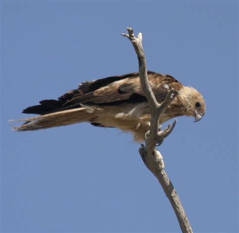 whistling kite birds in backyards