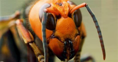 coyote peterson  stung  murder hornet  purpose