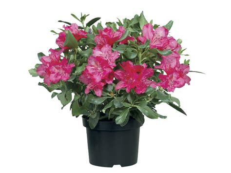 rhododendron lidl great britain specials archive