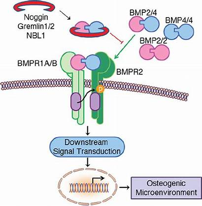Bmp Differential Molecules Pediatrics Spatial Suture Craniosynostosis