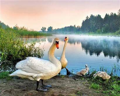 Birds Pair Swans Trees Plants Wallpapers Definition
