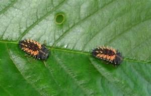 Käfer Im Garten : k fer auf dem kirschenbaum garten ungeziefer ~ Lizthompson.info Haus und Dekorationen
