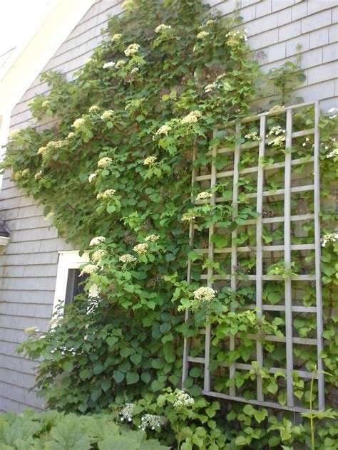 growing climbers for fences how to grow climbing hydrangea caring for climbing hydrangea