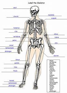 Label The Skeleton Worksheet - Homeschool Helper
