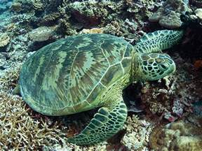 The Green Sea Turtle Endangered Animals
