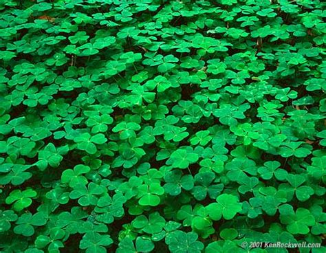 field  shamrocks pictures  images