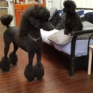 Standard Poodle Cuts