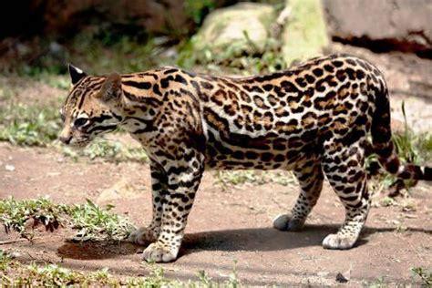 fotos de felinos especies pequenas  grandes