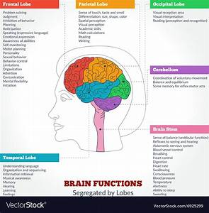 Human Brain Anatomy And Functions Royalty Free Vector Image