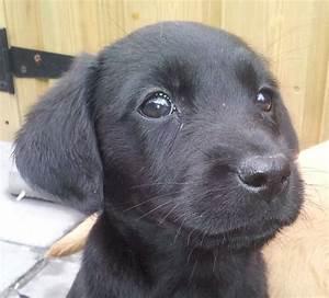 Black Labrador Puppies reduced price.. | Bridgend ...