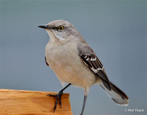 tennessee state bird phil thach