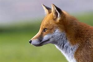 Fox profile | ebirder blog  Fox