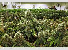 Florida medical marijuana Archives Medical Marijuana