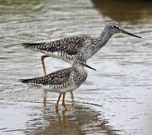 Pictures and information on Lesser Yellowlegs  Lesser