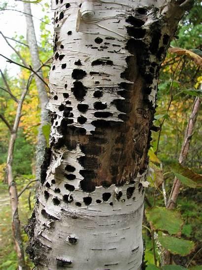 Damage Trees Sapsucker Birch Recognizing Thin Pacific
