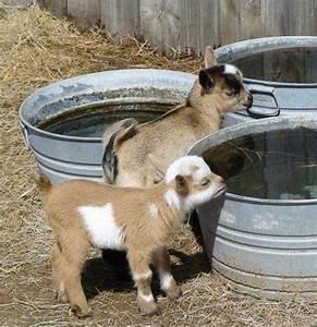 Pygmy goat babies, so cute!   Squishy   Pinterest