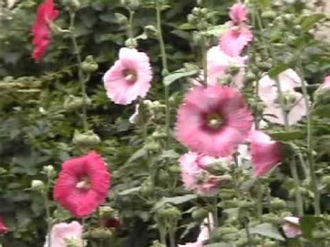 japanese summer flowers japanese summer althaea rosea flower garden タチアオイ youtube