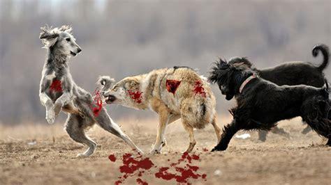 Wolf Hunt Dog   Wild Nature Wolf Size Vs Dog Wild Wolf Vs