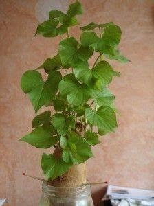 Patate Douce Plante : planter une patate douce une plante verte rapide ~ Dode.kayakingforconservation.com Idées de Décoration