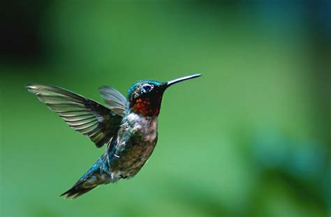 hummingbirds in michigan google search hummingbirds