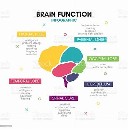 Brain Human Mind Lobe Infographic Functions Creative