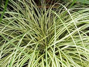 Carex Hachijoensis Evergold Pflege : carex oshimensis 39 evergold 39 japanese sedge ~ Lizthompson.info Haus und Dekorationen