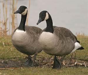 Canada Geese Greenland Canada Goose Down Online Shop
