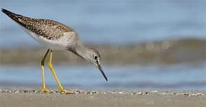 Lesser Yellowlegs | Audubon Field Guide  Lesser