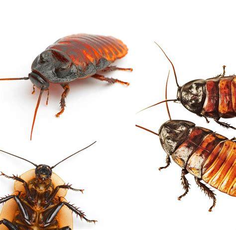 Wie Sehen Kakerlaken Aus wie sehen kakerlaken aus schaben kakerlaken biotec klute