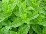 Spearmint - Tea and Essential Oil - Benefits & Side Effects