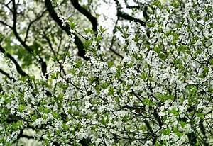 Baum Mit Blüten : zweige eines bl henden baum mit wei en bl ten stock foto colourbox ~ Frokenaadalensverden.com Haus und Dekorationen