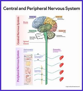 Nervous System Anatomy And Physiology