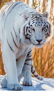 White Tiger HD Wallpaper   Background Image   2000x1600