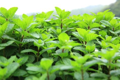 What Are The Different Types Of Mint Plants? Hunker