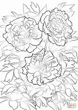 Peony Coloring Flower Pages Moutan Tree Printable Flowers Drawing Paper sketch template