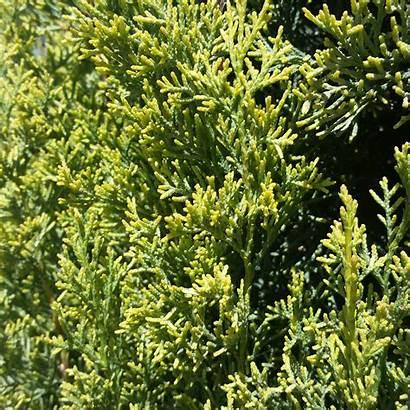 Golden Cypress Cupressus Sempervirens Italian Swane Swanes