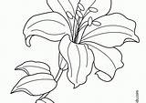 Lily Flower Coloring Pages Easter Line Drawing Printable Flowers Lilies Water Tiger Exotic Getdrawings Ideal Getcolorings sketch template