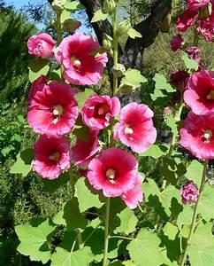 Edible Flowers 6 Hollyhock Hibiscus