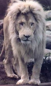 Di's World of Conservation- White Lions