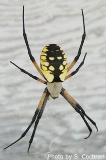 Curious About Spiders (nespiders)  Nebraska Extension In