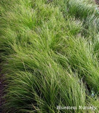 pennsylvania sedge lawn carex pensylvanica pennsylvania sedge a beautiful lawn substitute for shady areas a north