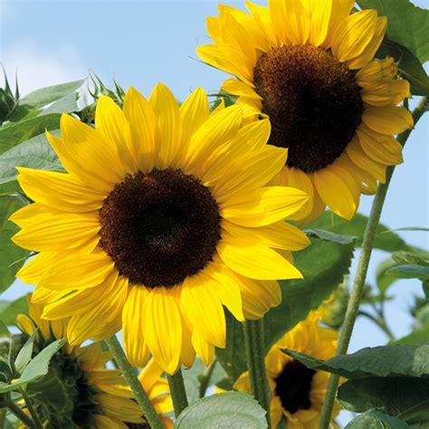 sunflower soleo  seeds   fothergills seeds  plants