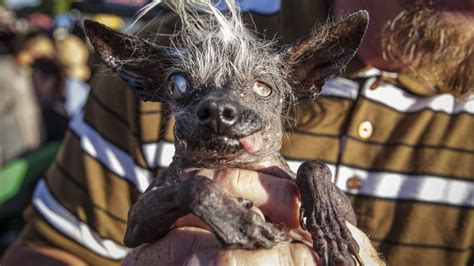 world s ugliest dog contest awards underdogs inner beauty