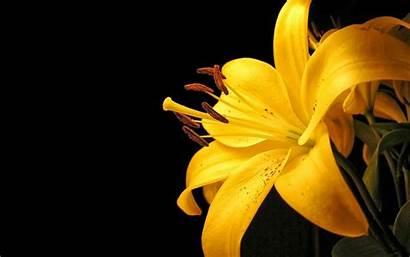 Bunga Cantik Kuning Gambar Ungu Lily Warna
