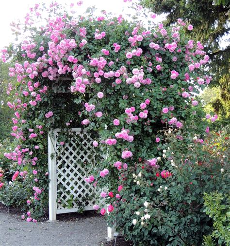 Rose Growing & Care  'how To' Articles  Prune Roses That