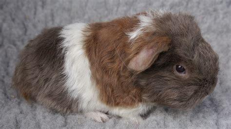baby coronet sheltie texel guinea pigs telford
