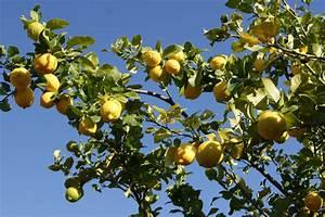 L Arbre Du Kiwi : l arbre amarula pour la liqueur du m me nom afrique du sud d couverte ~ Melissatoandfro.com Idées de Décoration