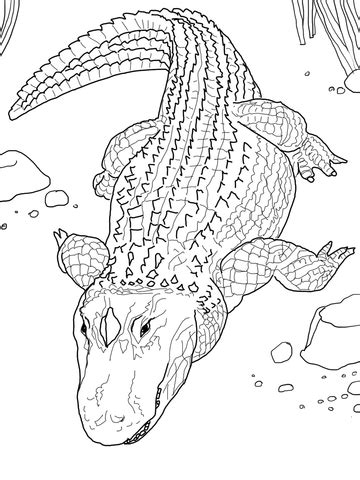american alligator  common alligator coloring page  printable coloring pages