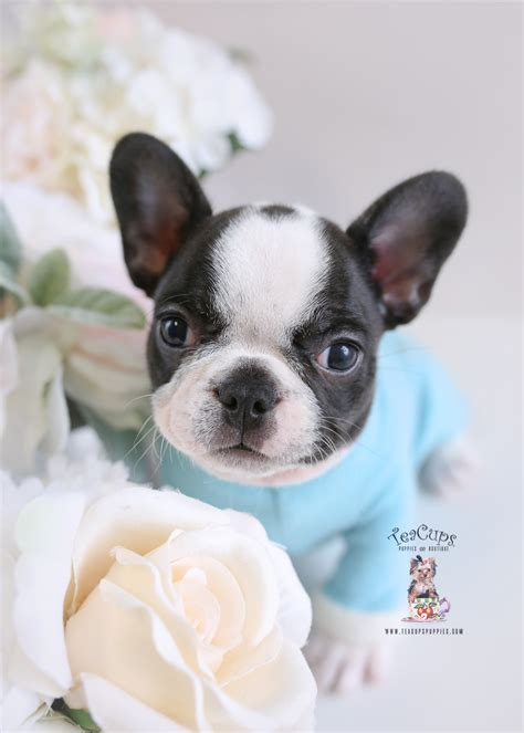 Frenchie French Bulldog For Sale Teacups Puppies Boutique