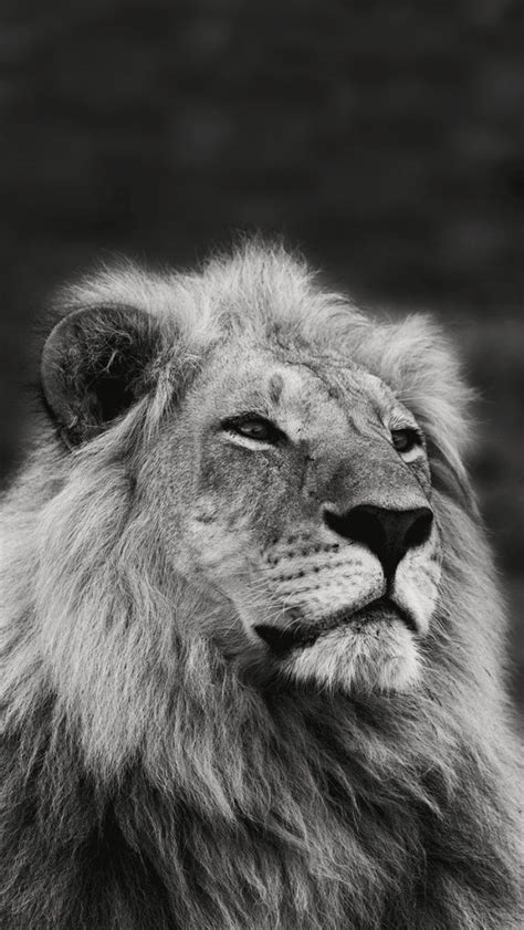 lion collection  wild life animals wallpapers